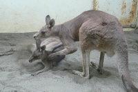 Kangaroo10