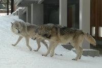 Wolves_m08