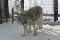 Wolves_m09