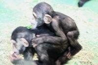 Chimpanzee12