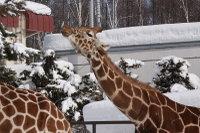 Giraffe14