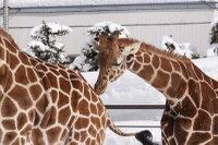 Giraffes18