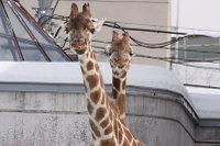 Giraffes19