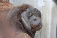 Orangutan23