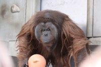 Orangutan24