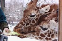 Giraffes21