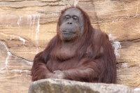 Orangutan_t