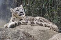 Snowleopard_t