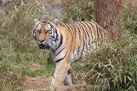 Tiger_t