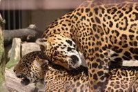 Jaguar02