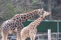 Giraffes22
