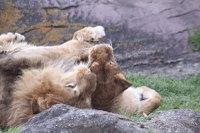 Lions_h