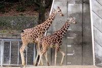 Giraffes23