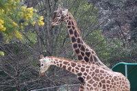 Giraffes24