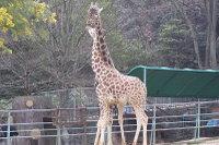 Giraffes25