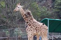 Giraffes26