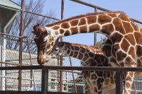 Giraffes27