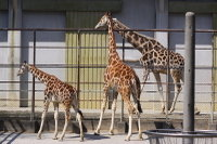 Giraffes28