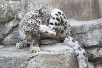 Snowleopard_o01
