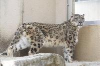 Snowleopard_o02
