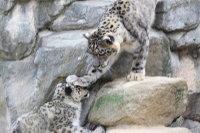 Snowleopard_o03