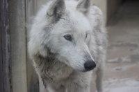Wolf_o01