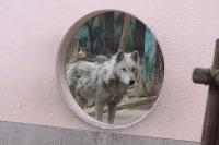 Wolf_o02