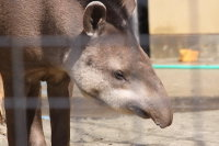 Brazilian_tapir