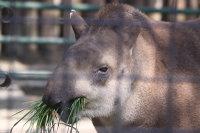 Brazilian_tapir02