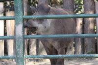 Brazilian_tapir03
