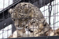 Snowleopard20