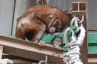 Orangutan27