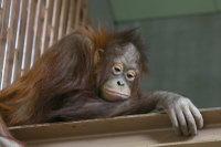 Orangutan28