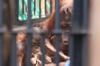 Orangutan29