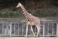 Giraffe15