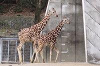 Giraffes29