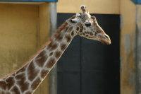 Giraffe16