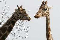 Giraffes30