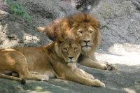 Lions_h02