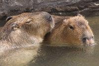 Capybara08