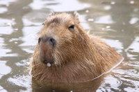 Capybara09