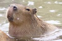 Capybara10