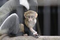 Brazzas_monkey06