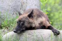 Wolf09