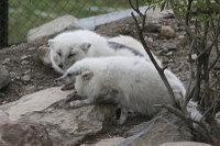 Arctic_fox34