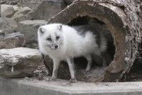 Arctic_fox35