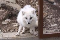 Arctic_fox36