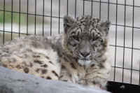 Snowleopard22