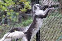 Arctic_fox38