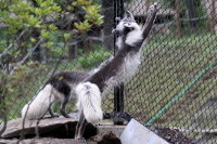 Arctic_fox39